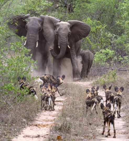 African elephants come face to face with one of Africa's most fearless animals, wild dogs, at the Sabi Sands Private Game Reserve near Kruger National Park in South Africa Picture: Greatstock / Barcroft Media: