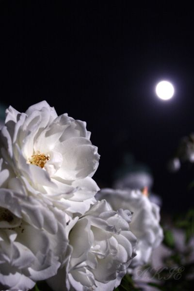 white Rose & Moon