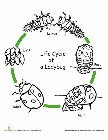 Color the Life Cycle: Ladybug | Life Cycles, Ladybugs and Worksheets