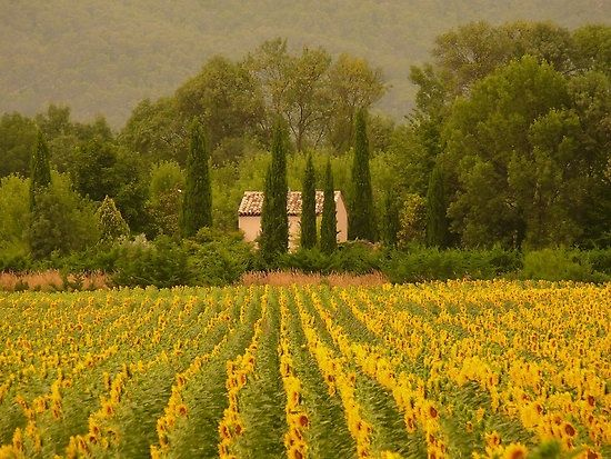 Walking in the sunflowers in Provence