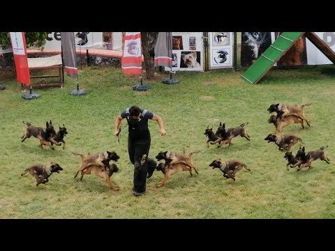 Belgian Malinois Puppies Attack Training How To Train Belgian Malinois In 2020 Malinois Puppies Belgian Malinois Belgian Malinois Puppies