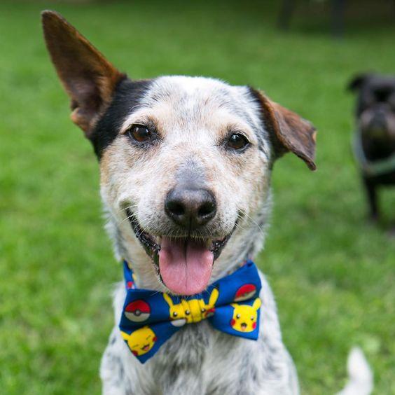 #pokemon #bowtie #dog #dogstyle #dogbowtie #blueheeler #australiancattledog #pokemoncollar