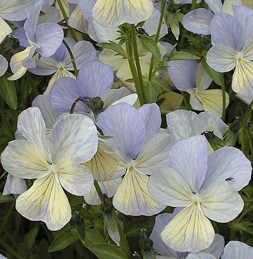 Viola cornuta 'Brimstone' (EM) Soft subtle colouring of pale cream delicately overlaid & veined with pale slatey-blue.