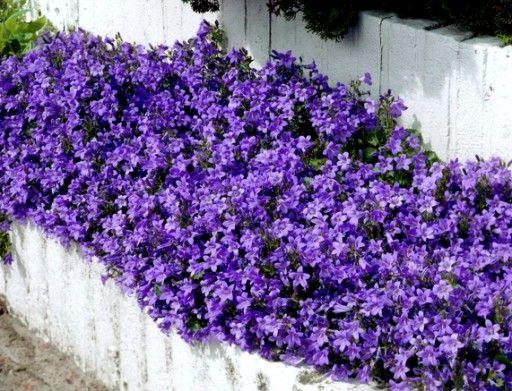 Dlugo Kwitnacy Dzwonek Dalmatynski Na Skalniaki 6662648017 Oficjalne Archiwum Allegro Outdoor Garden Garden Plants