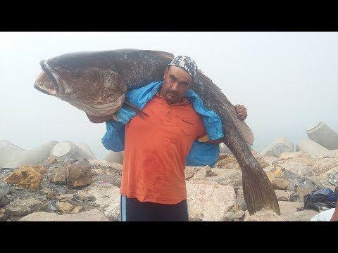 رقم قياسي بمدينة القنيطرة اصطياد أكبر سمكة الكوربين أكثر من 60كلغ Youtube Walrus