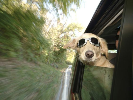 doggy in a car.