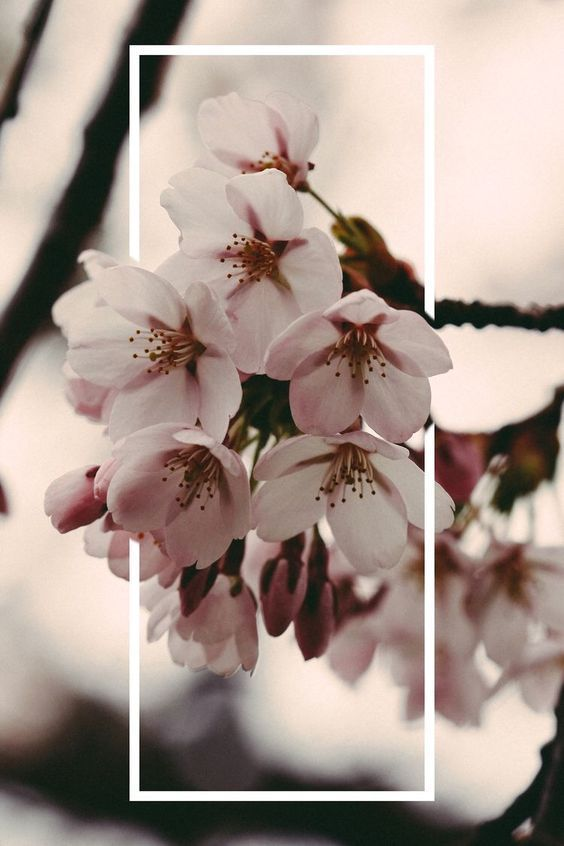 You Re A Cherry Blossom You Re About To Bloom Flower Iphone Wallpaper Flower Wallpaper Wallpaper Pink Cute Coolest red cherry blossom wallpaper