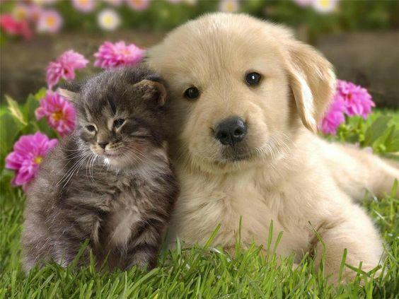 ネコと寄り添うかわいいゴールデンレトリバーの壁紙