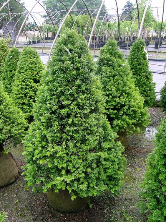 Catalog on pinterest for Garden yew trees
