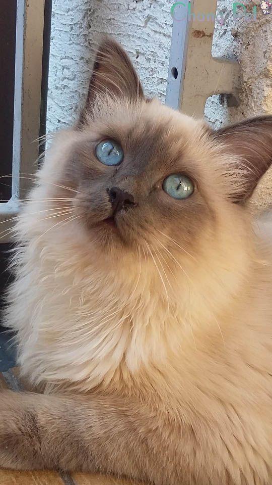 Ragdoll Cats Facts Birman Kittens Ragdoll Cat Siamese Cats Blue Point