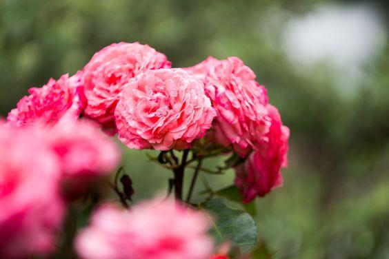 Rose.   Spring ends.