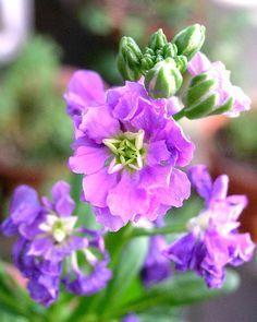 Flores particulares a la temporada de verano.: Alhelí