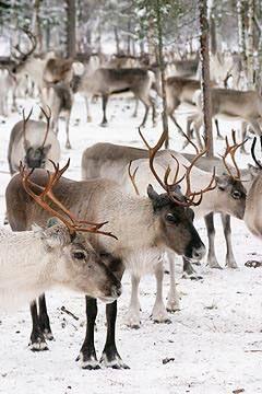 A lot of beautiful reindeers in Lapland  #winter #wonderland #snow