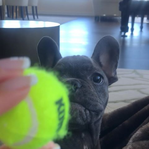 I M Ready Ma Throw The Ball Monday Frenchie Tennis Readyfortheweek Cute Baby Animals Frenchie French Bulldog