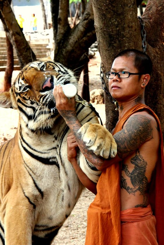 Tiger Temple, or Wat Pha Luang Ta Bua, is a Theravada Buddhist temple in western Thailand that was founded in 1994 as a forest temple and sanctuary for wild animals, among them several tigers, the majority of which are Indochinese tigers.:
