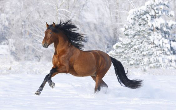 Horse Running In The Snowl