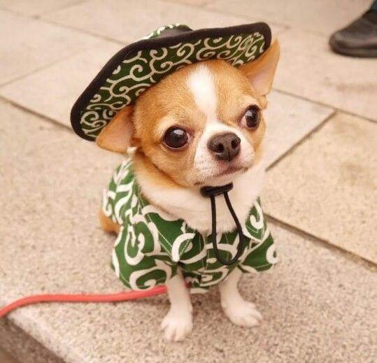 50 Mexican Chihuahua Dog Names Chihuahua Puppies Cute Baby