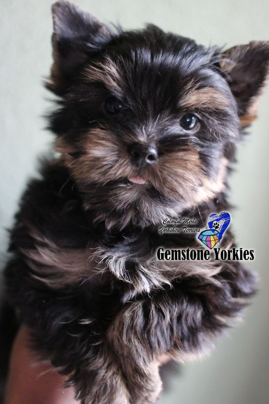 Pin On Gemstone Exotic Yorkies