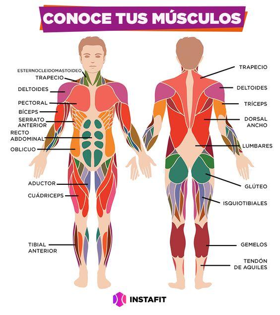 ¿Realmente conoces a tus músculos? ¿Sabes cómo se llaman y para qué sirven? A continuación hablamos sobre los principales.