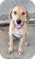 Media, PA - Labrador Retriever/Hound (Unknown Type) Mix. Meet Grace, a dog for adoption. http://www.adoptapet.com/pet/11051509-media-pennsylvania-labrador-retriever-mix