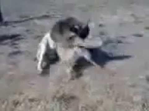 Собачий бой в Казахстане