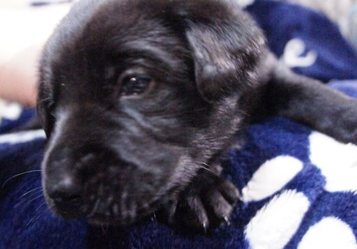 Litter Of 10 Chow Chow Labrador Retriever Mix Puppies For Sale In Lakewood Oh Adn 69433 On Puppyfinder Com Gender Puppies For Sale Puppies Labrador Retriever