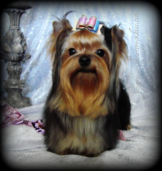 Toy yorkies for sale in georgia