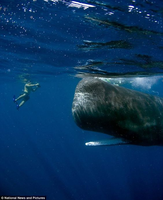 """Close encounter: Arun Madisetti's son Dylan snaps """"Scar"""" the habituated Sperm whale off the coast of The Commonwealth of Dominica."""