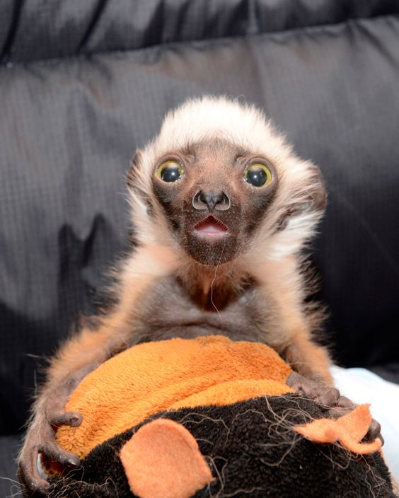 It has been just a few months since the famous lemur, known as 'Zoboomafoo', passed away at the age of 20. Duke Lemur Center, home to Zoboomafoo (real name 'Jovian'), is excited to share the encouraging news of the birth of his fifth grandchild! Newborn granddaughter, 'Isabella' was born to Jovian's oldest son, 'Charlemagne', and his mate, 'Pompeia', at the Duke Lemur Center on Jan. 25, 2015.  Learn more, see more…