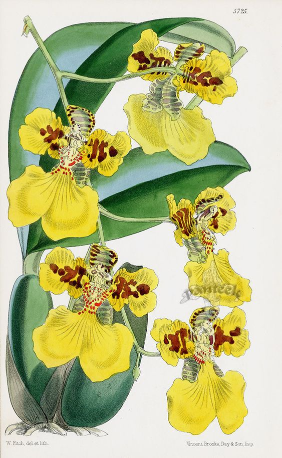 Oncidium Marshallianum Orchid From Orchid Botanical Lithographs From The Fitch Curtis Years Orchids Flow Botanical Drawings Botanical Orchids Orchid Drawing