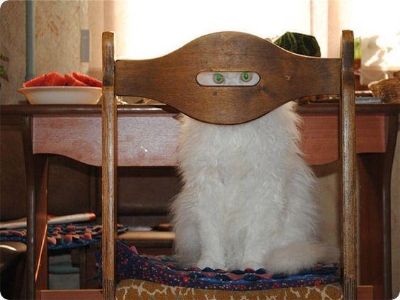 chat blanc cache sur chaise bois                                                                                                                                                                                 Plus