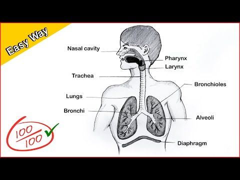 How To Draw A Human Respiratory System Diagram Drawing Easy Science Project Making Step By St Human Respiratory System Easy Science Projects Easy Drawings