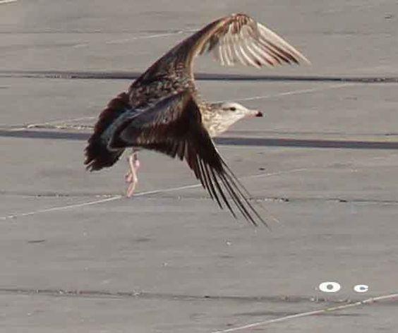 El vuelo de la gaviota.   o c