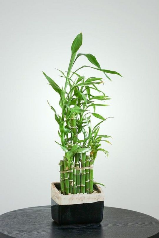 How To Grow Lucky Bamboo Indoors Lucky Bamboo Care Bamboo Care
