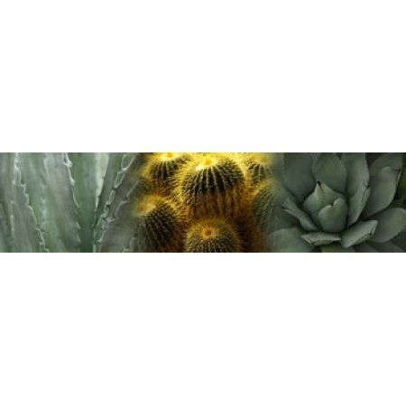 Cactus plants Canvas Art - Panoramic Images (40 x 10)