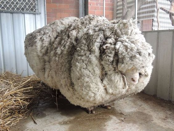 Why sheep can't stop growing their fur - Business Insider