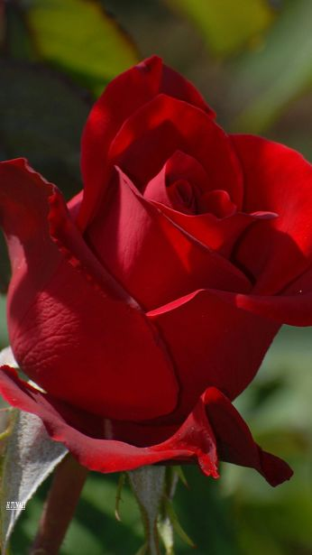 Red like roses fills my dreams and brings me to the place you rest...: