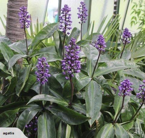 Dichorisandra Thyrsiflora Blue Ginger Tropical Garden Plants