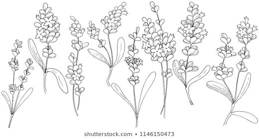 Vector Lavender Wildflower In A Vector Style Isolated Vector