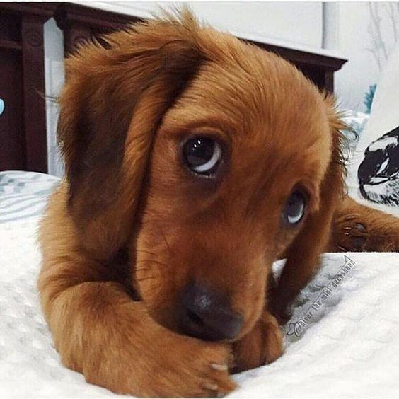 Dachshund Puppy Eyes Weenie Dogs Sausage Dog Dachshund Love
