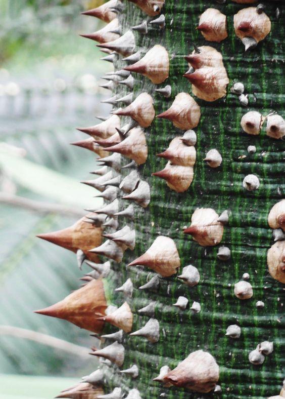 Detalhe do tronco espinhoso da Ceiba speciosa, a paineira ou árvore do fio de seda, fotografado em Palmengarten, Frankfurt, Alemanha.  Fotografia: Jutta234.: