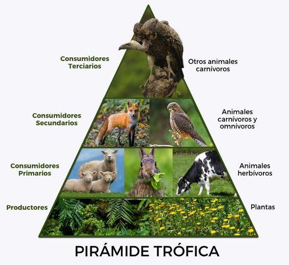 ¿Conoces las pirámides ecológicas y para qué nos sirven? En EcologíaVerde te enseñamos qué son las pirámides ecológicas y sus tipos para que aprendas cómo podemos estudiar mejor el flujo de energía en la naturaleza, entre otros aspectos. #ecologia #naturaleza #piramidesecologicas #piramidestroficas #energia