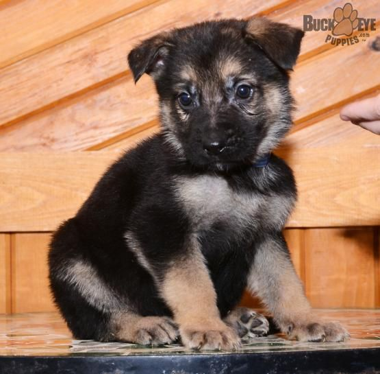 Pin By Samantha Dimaggio On It S Such A Fluff Of Cuteness German Shepherd Puppies Puppies Puppies For Sale