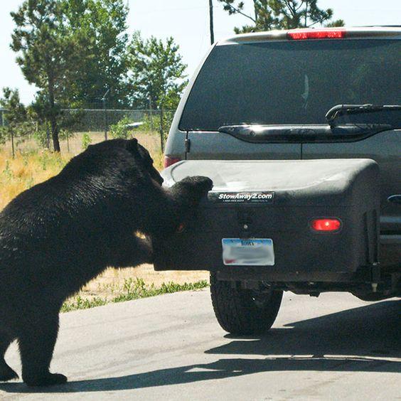 Bear investigating StowAway carrier