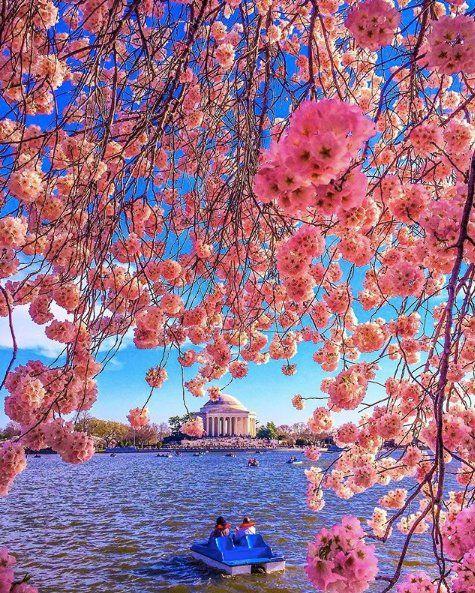 Ninja Journalist Ninjajournalist Twitter Cherry Blossom Cherry Blossom Festival Amazing Photography