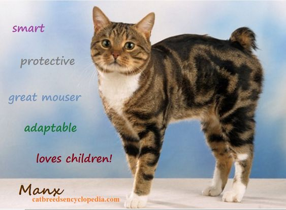 Manx cats have different tail lengths like stumpy and rumpy!