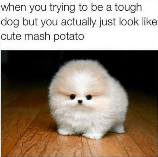 29 Tweets Tumblr Posts Anyone With A Small Fluffy Dog Will Find Extra Funny Funny Dog Memes Cute Animal Memes Funny Animals
