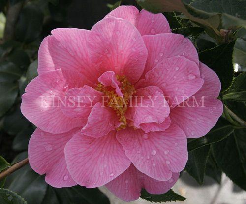 'Koto-No-Kaori' Camellia japonica hybrid. Pink double blooms. Kinsey Family Farm Gainesville, GA.