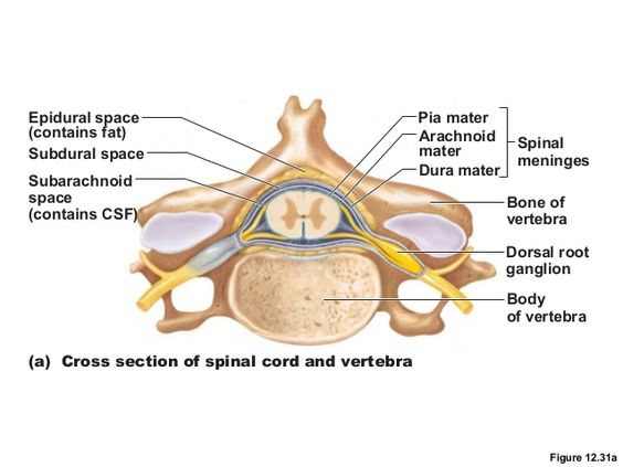 spinal cord cross section slide with meninges - Google ...