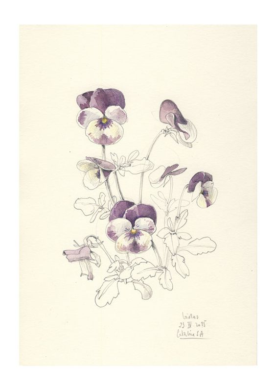 Lila Stiefmütterchen Zeichnung drucken von Aquarell und Bleistift Zeichnung der…